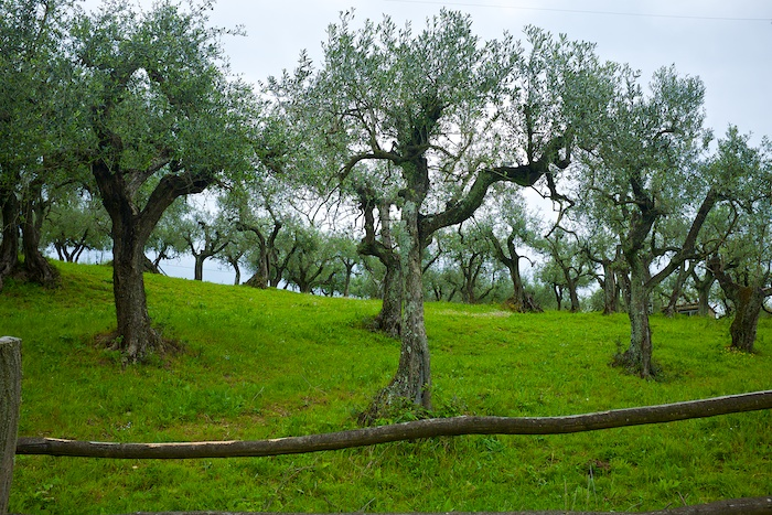 Olive trees here on the grounds